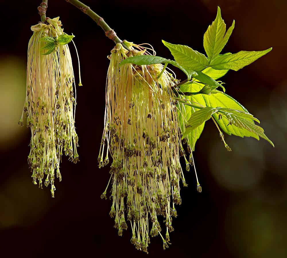 eschen ahorn foto bild pflanzen pilze flechten bl ten kleinpflanzen flora bilder auf. Black Bedroom Furniture Sets. Home Design Ideas