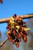 Eschenahornblüte