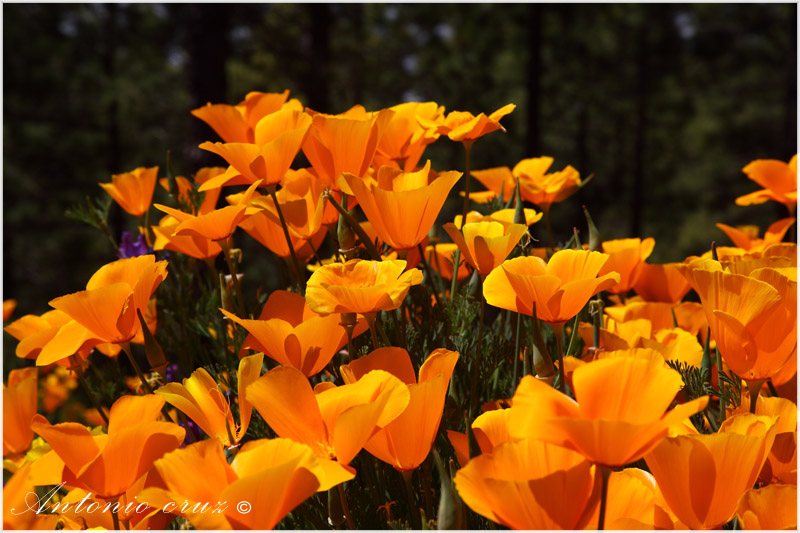 Eschscholzia californiana