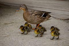 Escuela de patos