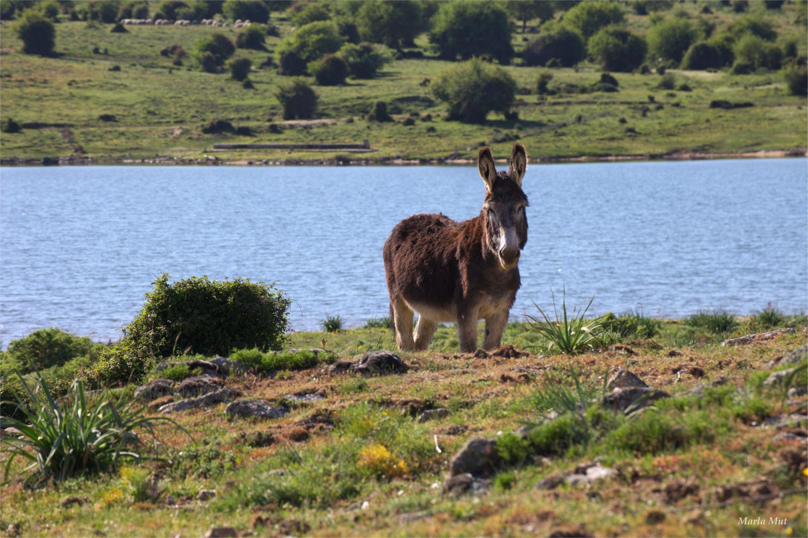Esel auf Sardinien