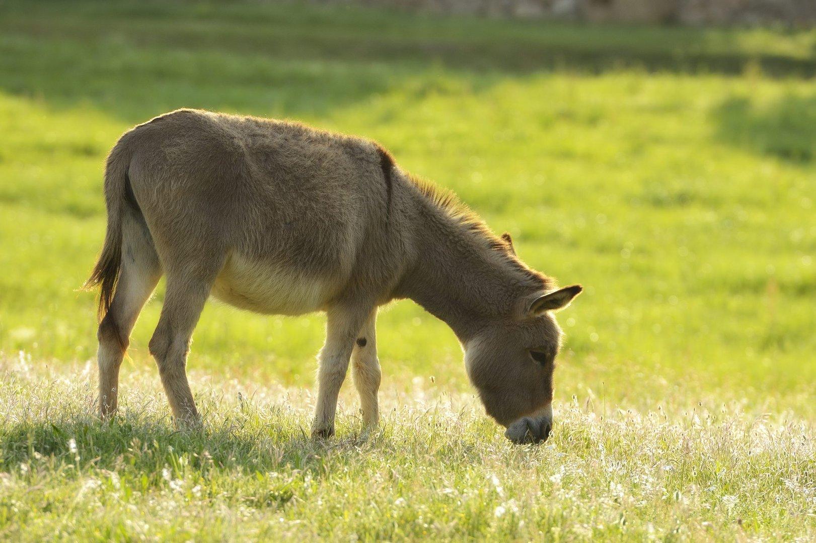 Esel aus Sardinien
