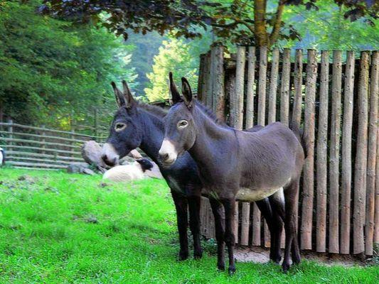 Eselspaar