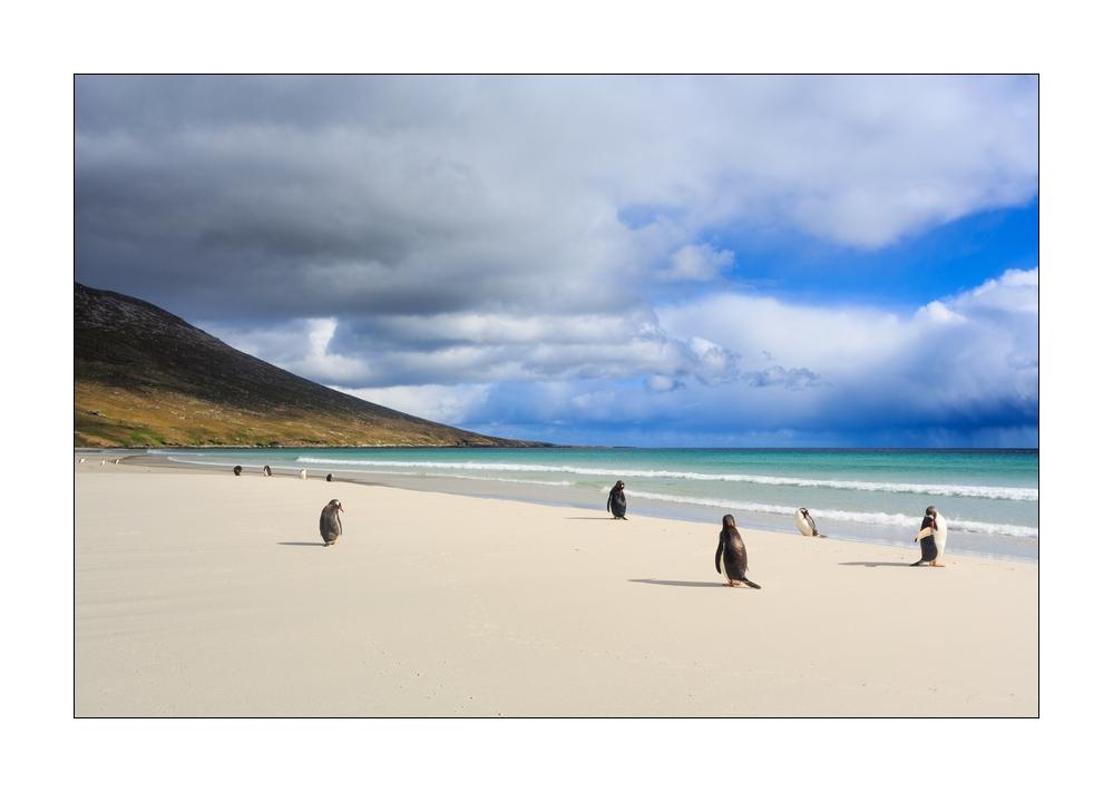 Eselspinguine auf Falkland