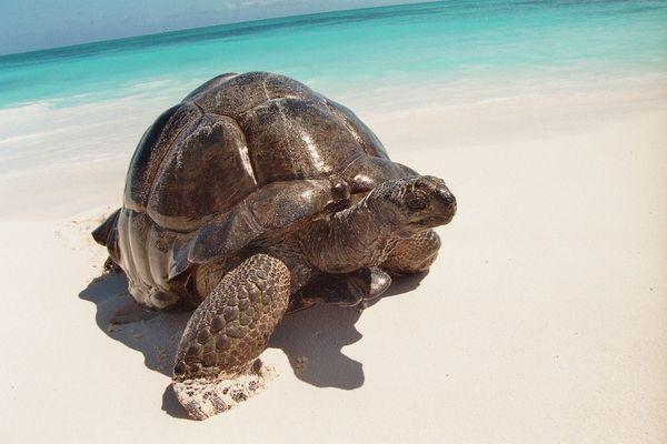 Esmeralda  Riesenschildkröte Bird Island Seychellen