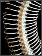 Esqueleto de Boa constrictor