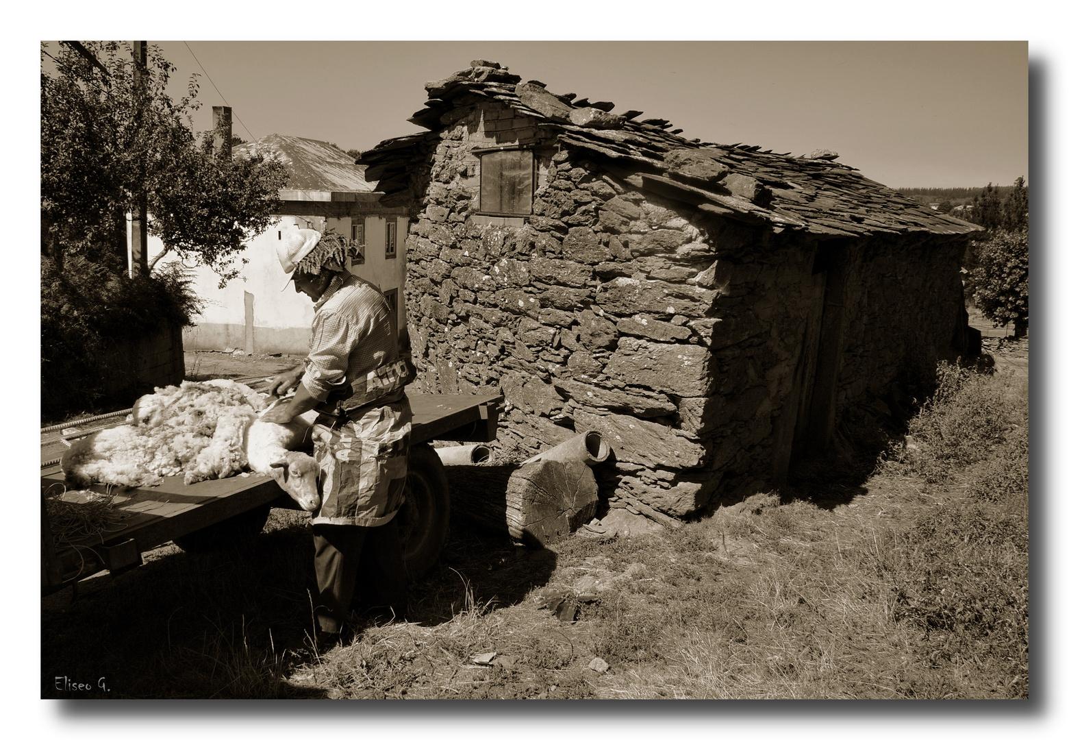 Esquilador de ovejas I