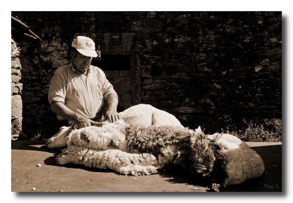 Esquilador de ovejas II