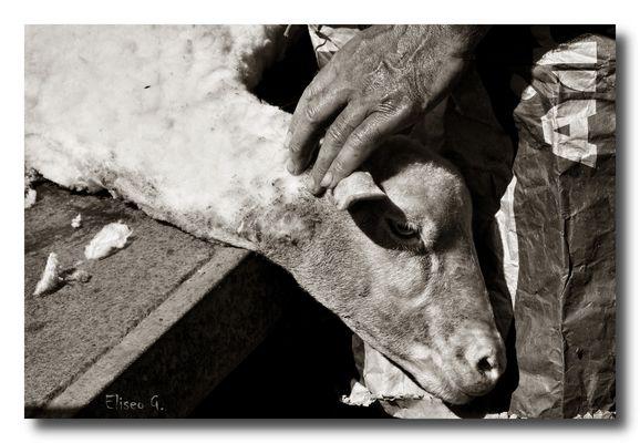 Esquilador de ovejas IV