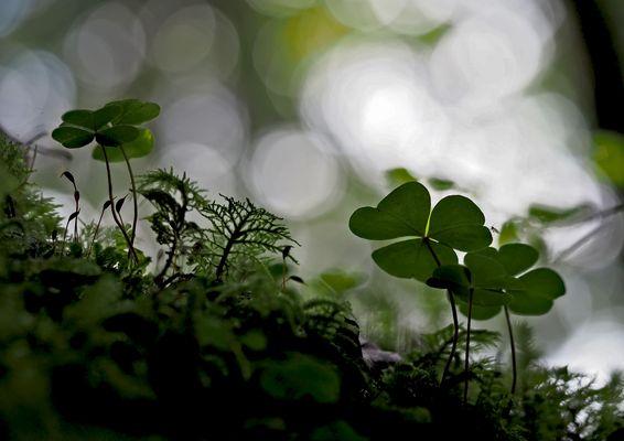 Essay: Waldsauerklee (Oxalis acetosella) - L'Oseille des bois...