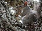 essendes Eichhörnchen