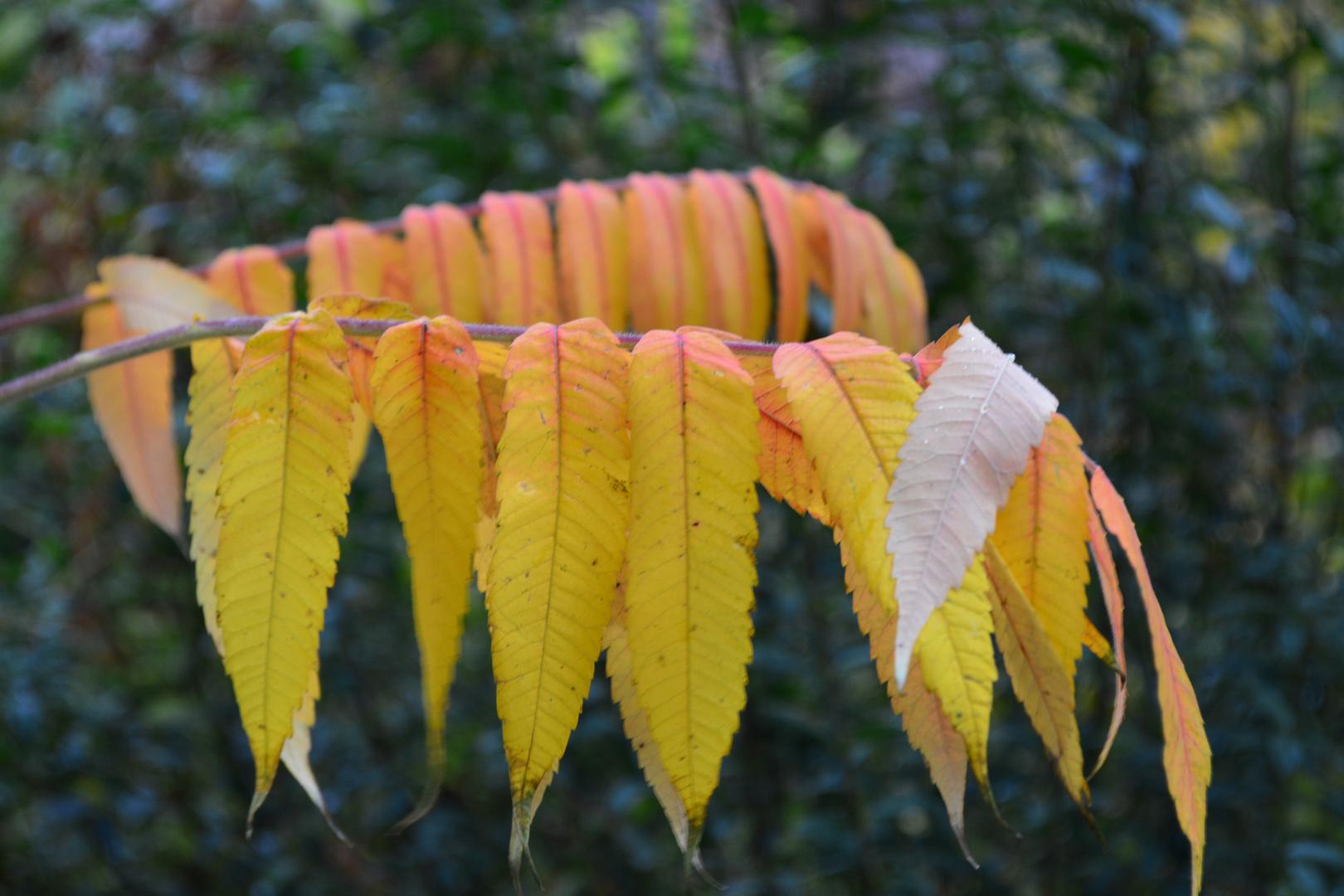 Essigbaumblätter