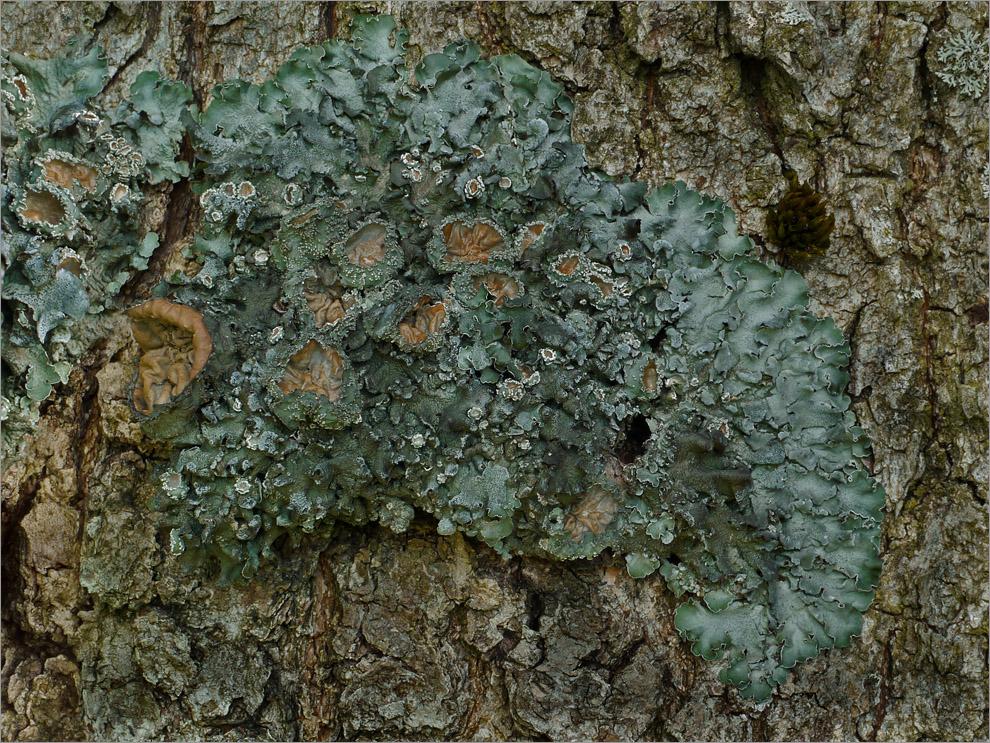 Essigflechte (Pleurosticta acetabulum)