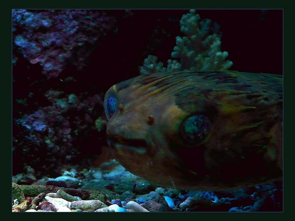 ET, ein Kugelfisch