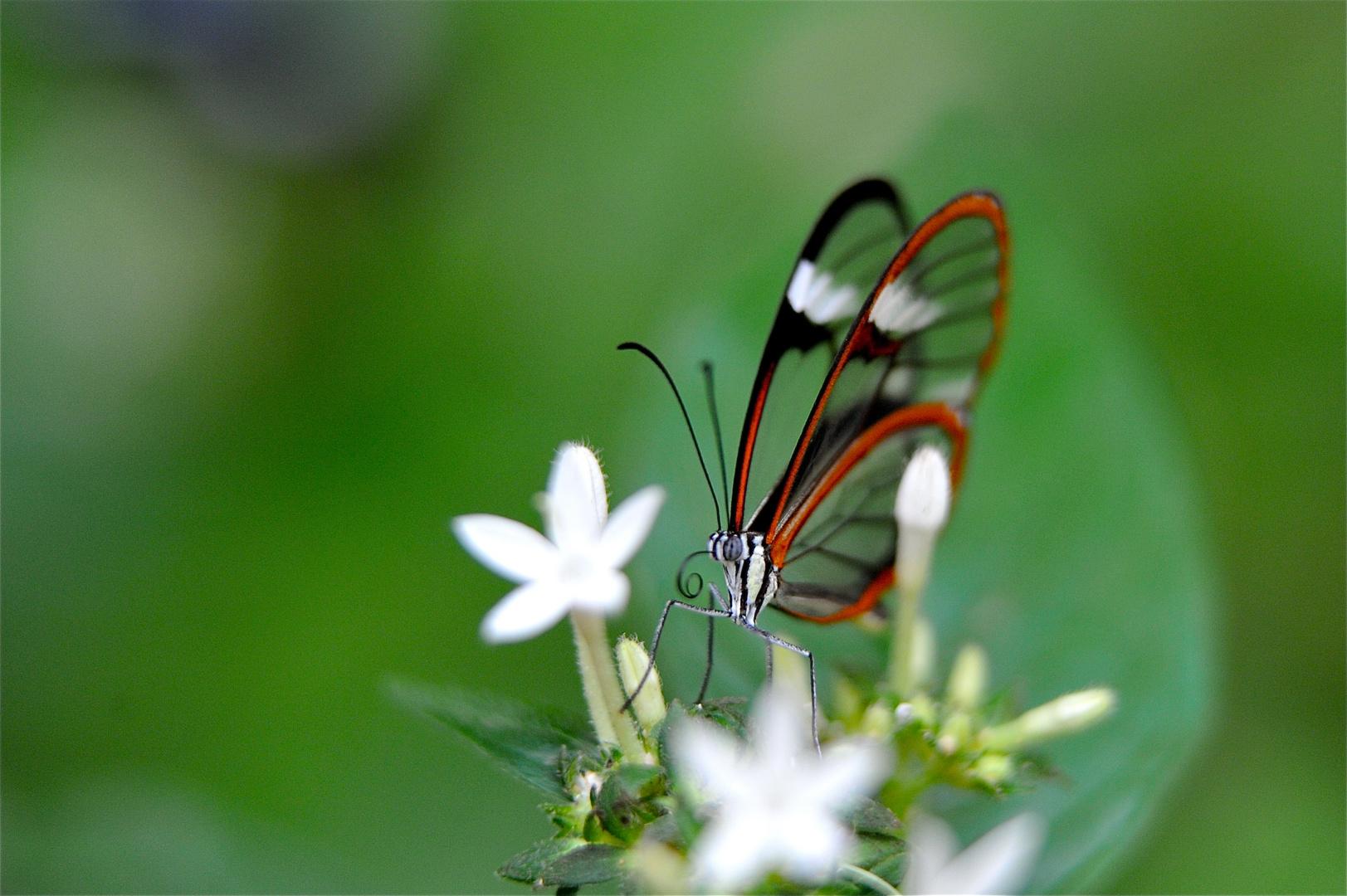 et tjs papillon