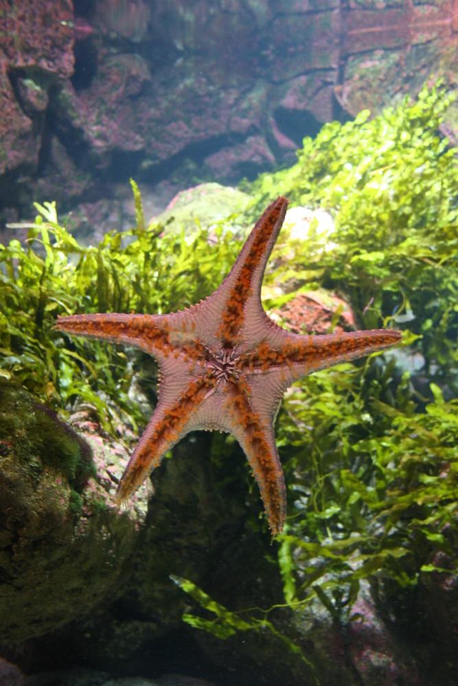 étoile de mer, aquarium de la rochelle