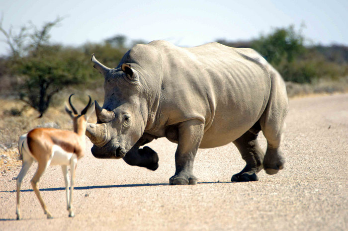 Etoscha Rhino