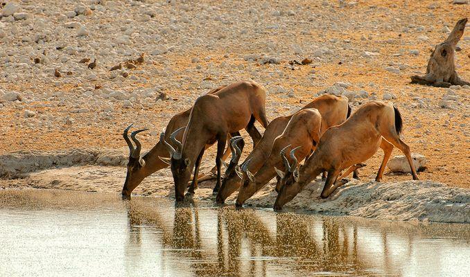 Etosha National Park - Thirsty Hartebeest