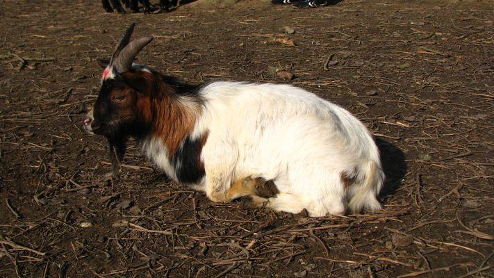 Etre chèvre