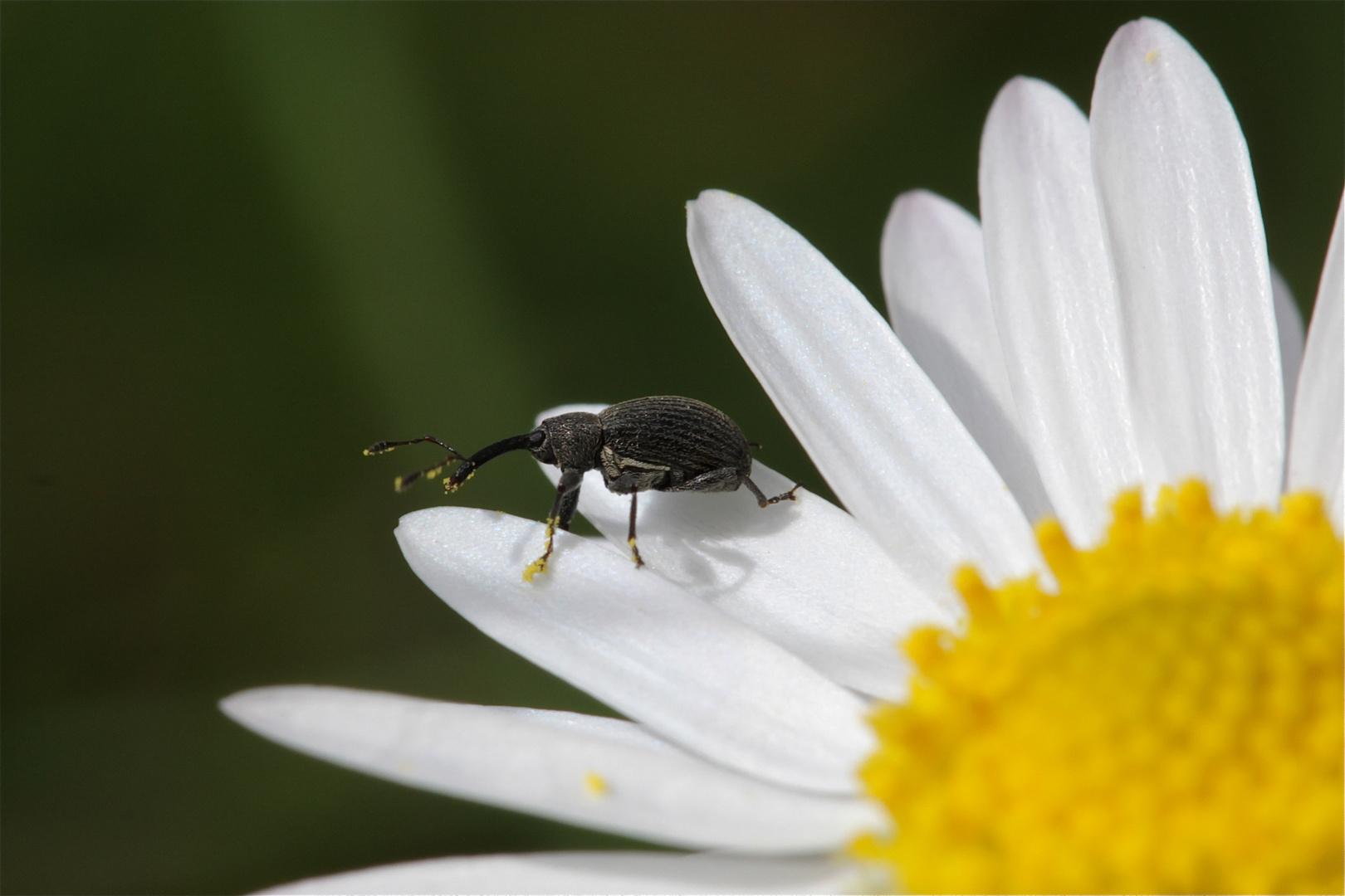 Etwa 2 bis 3 mm langer Rüsselkäfer auf einem Gänseblümchen
