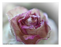 Etwas älteres Mittwochsblümchen