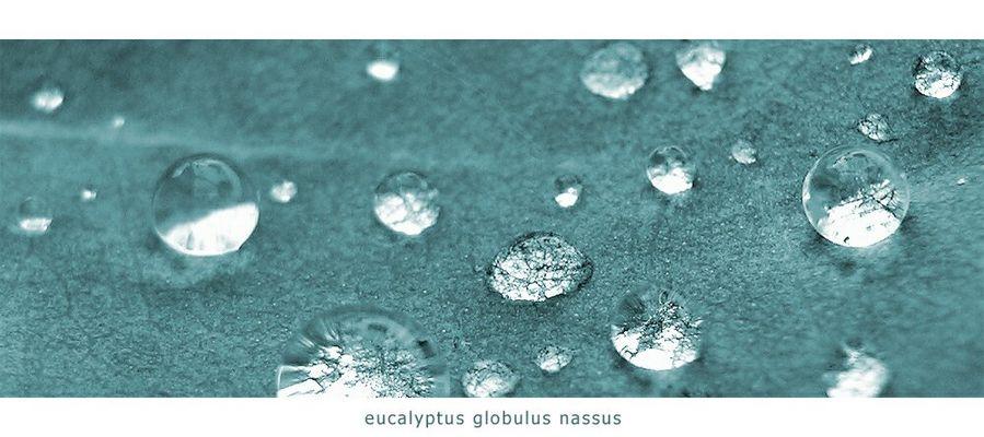 eucalyptus globulus nassus