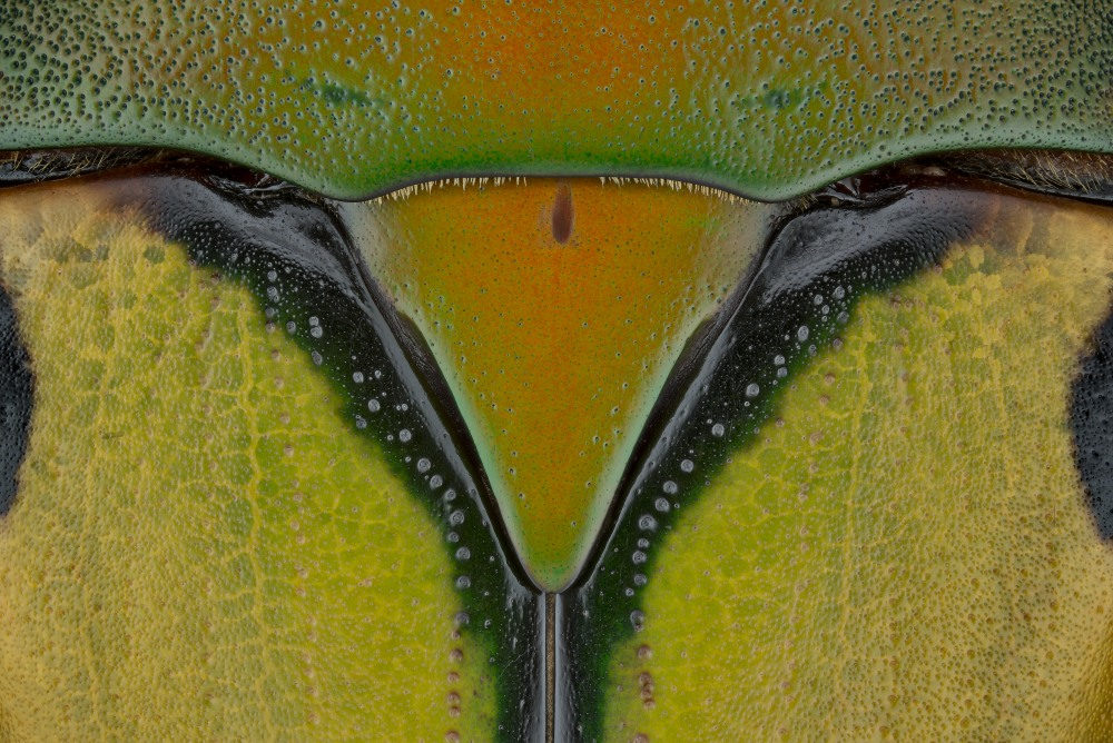 Eudicella trilineata interruptefasciata