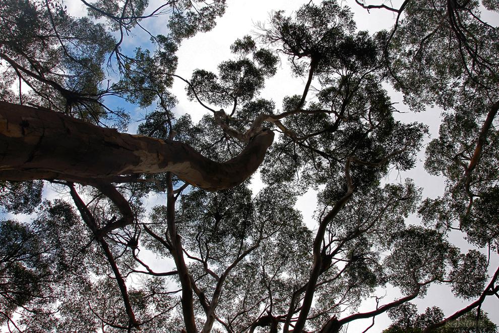 Eukalypten-Wald