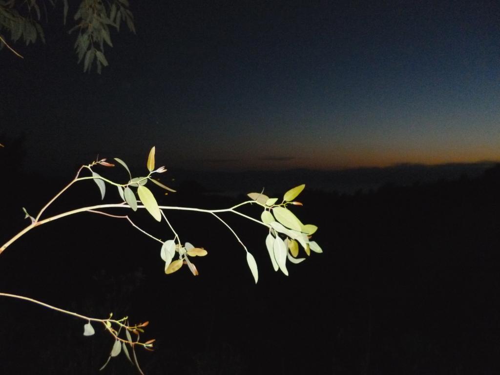 eukalyptus..