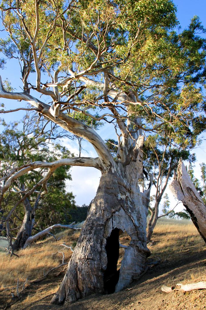 Eukalyptus am Mount Remarkable
