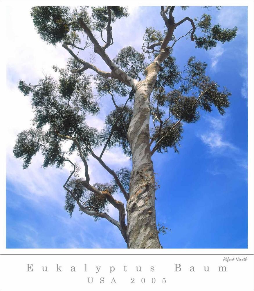 eukalyptus baum foto bild north america united states. Black Bedroom Furniture Sets. Home Design Ideas
