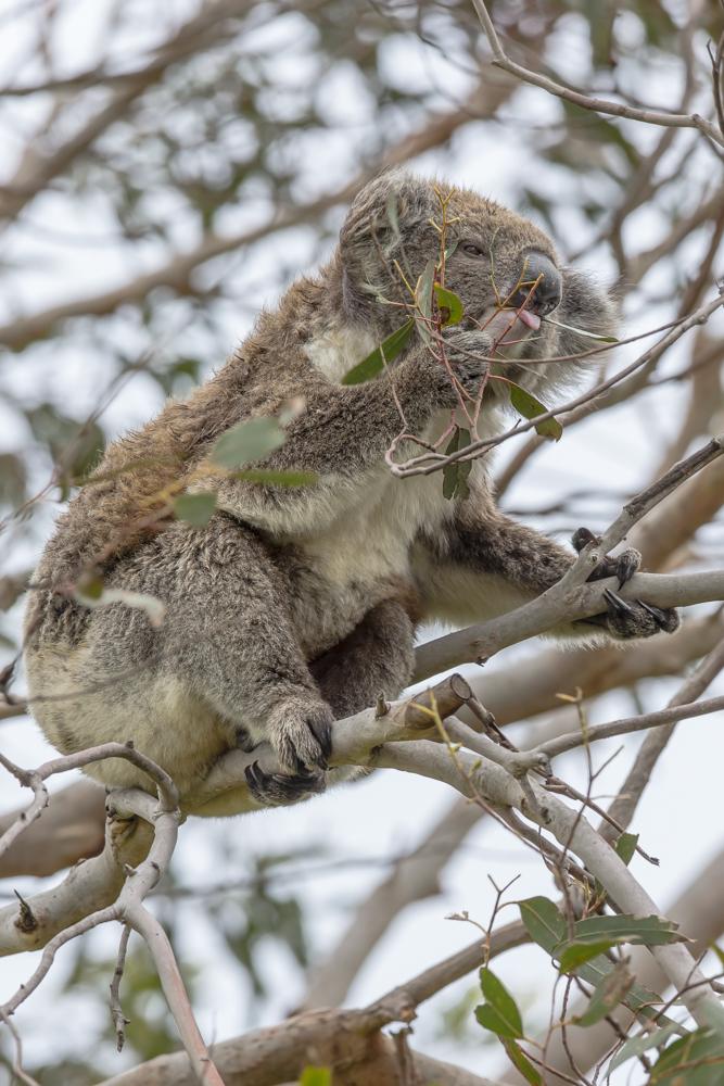 Eukalyptus satt zum Frühstück