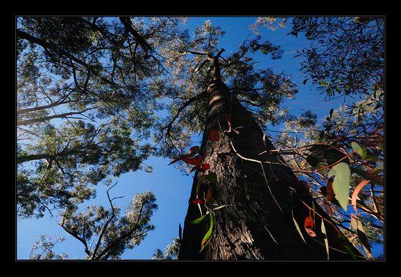 Eukalyptus-Wald