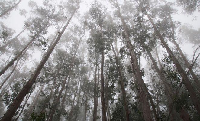 Eukalyptusbäume im Nebel