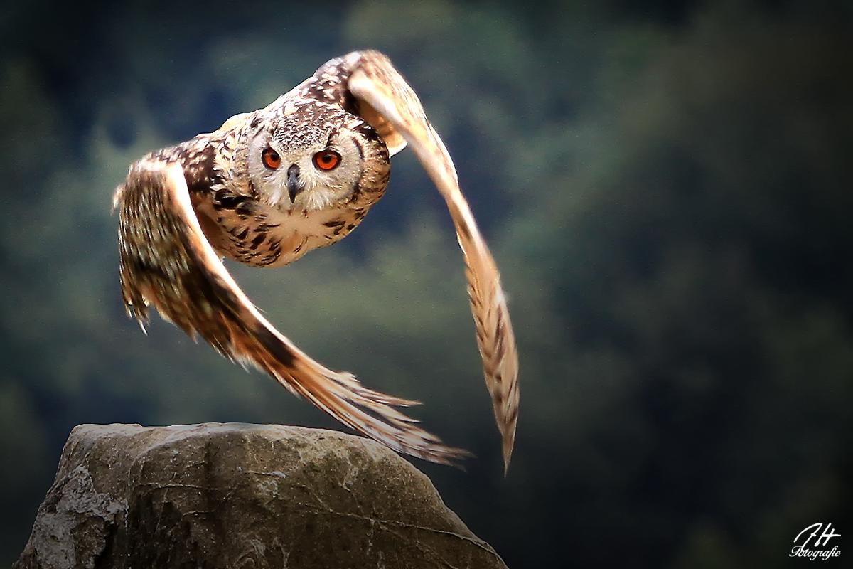 Eule im Flug Foto  Bild  tiere zoo wildpark  falknerei vgel