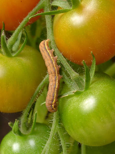 Eule mit Gemüse