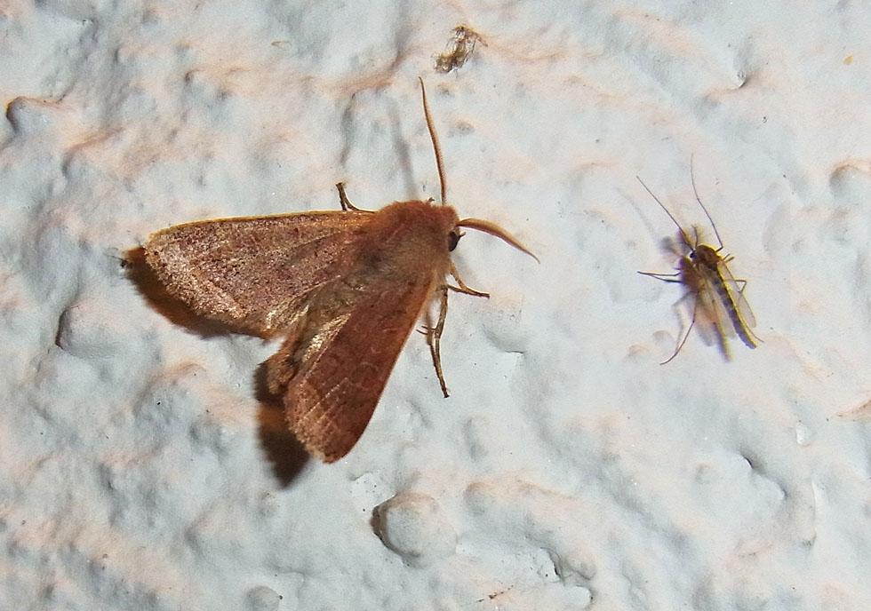 Eule und eine Büschelmücke