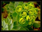 Euphorbe myrsinite..................au jardin d'Annick