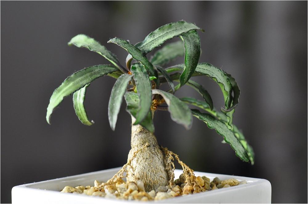 euphorbia francoisii foto bild pflanzen pilze flechten kakteen sukkulenten natur. Black Bedroom Furniture Sets. Home Design Ideas