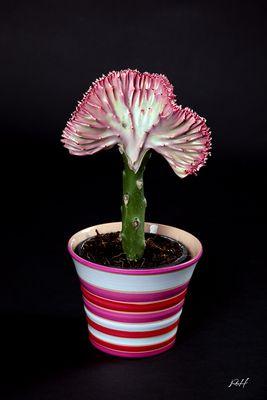 Euphorbia lactea 'Cristata