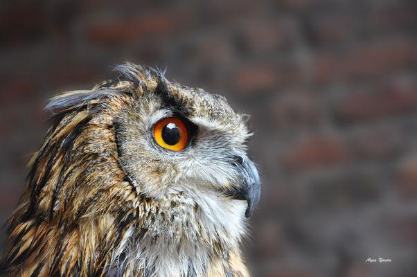 Eurasian Eagle-Owl..