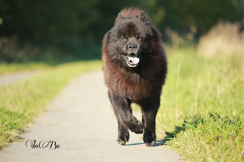 Eurasier Power