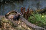 Eurasischer Iltis(Mustela putorius)