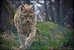Eurasischer Luchs (Lynx)