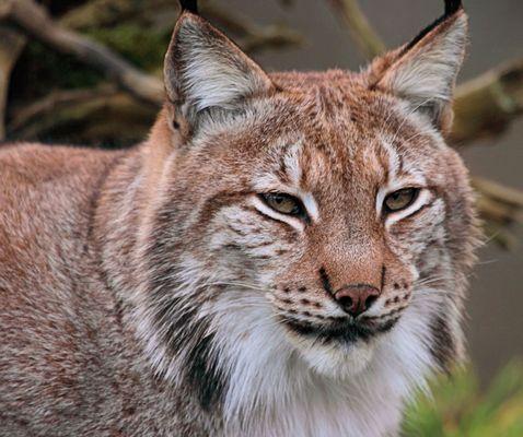 Eurasischer Luchs - Lynx lynx
