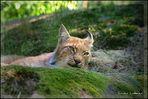 Eurasischer Luchs / nordischer Luchs / Lynx lynx