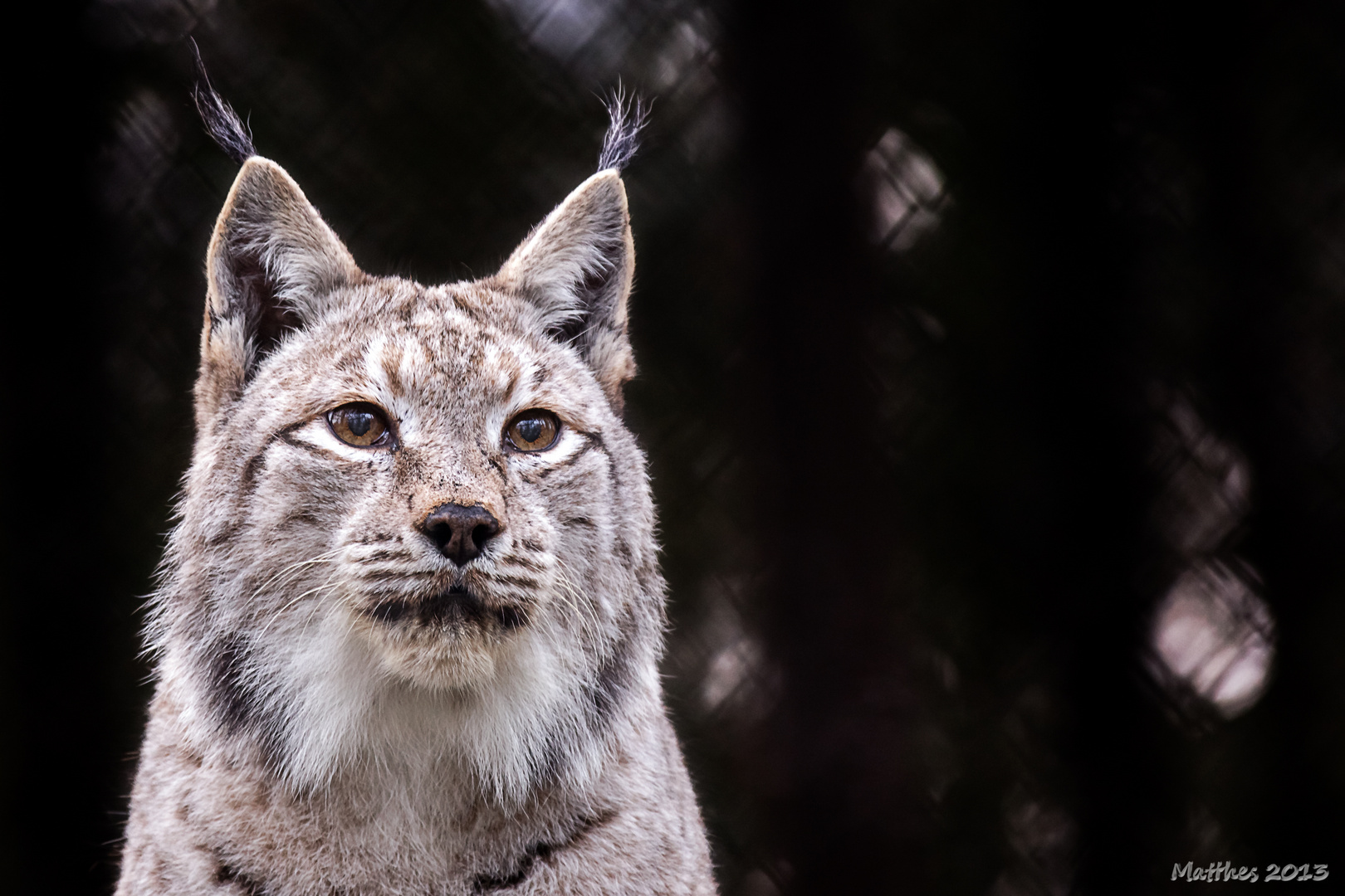 Eurasischer Luchs oder Nordluchs (Lynx lynx)