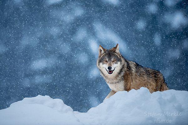 Eurasischer Wolf