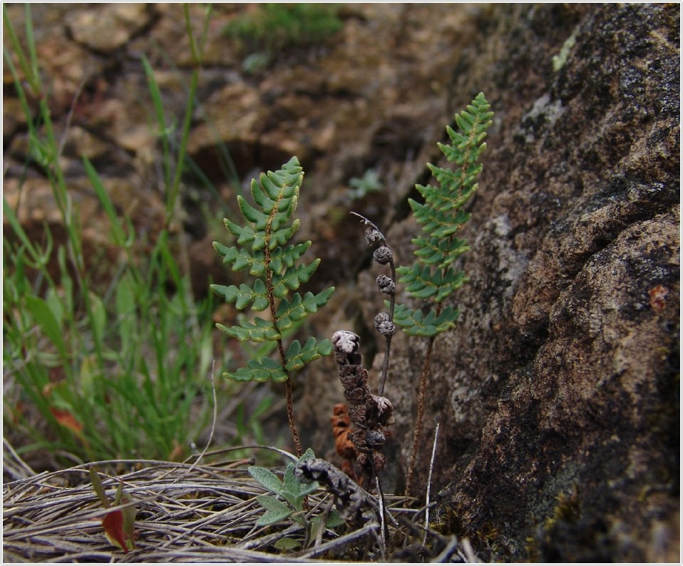 Europäisch bedeutsame Arten (2): Der Pelzfarn (Notholaena maranthae)