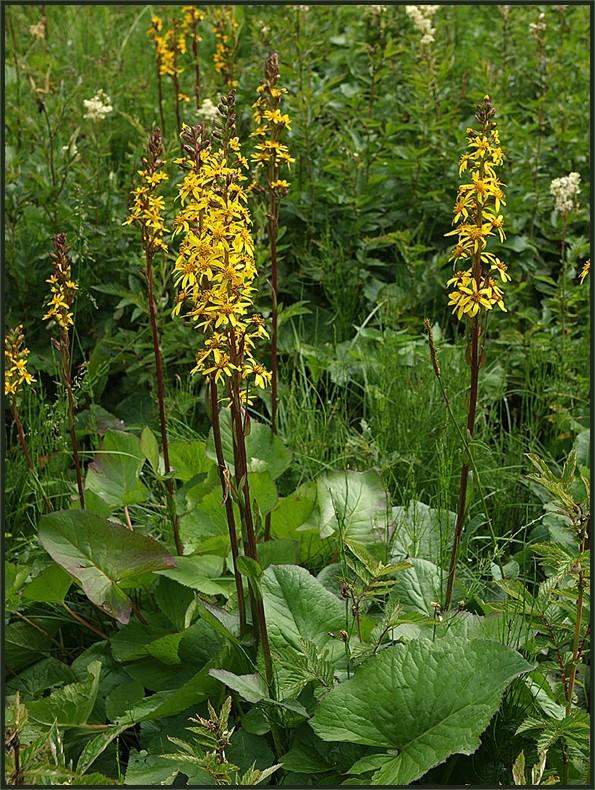 Europäisch bedeutsame Arten (5): Sibirischer Goldkolben (Ligularia sibirica)
